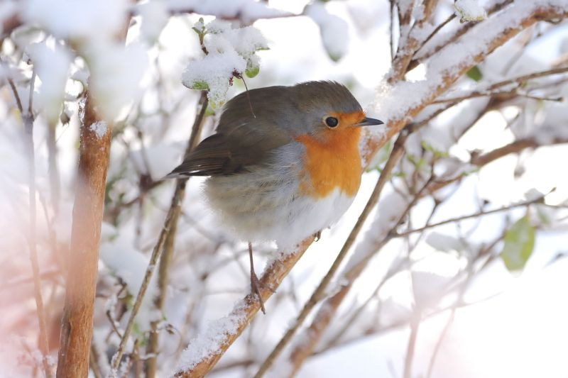 Robin In The Snow 1, Schweden  Wolfgang , Germany