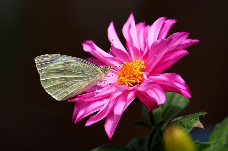 The Butterfly And The Dahlia, Bonaccorsi  Claudio , Italy