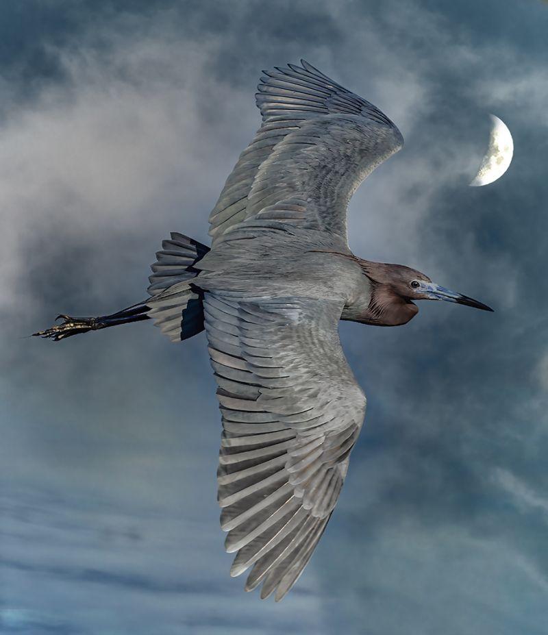 Reddish Egret In Flight Sky W Moon, Weaver  Ken , Usa