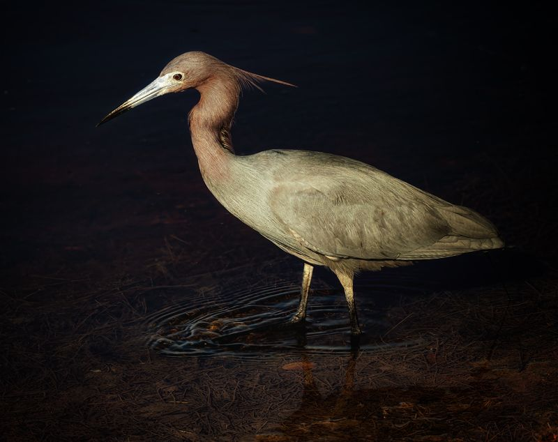 Reddish Egret At Night, Weaver  Ken , Usa