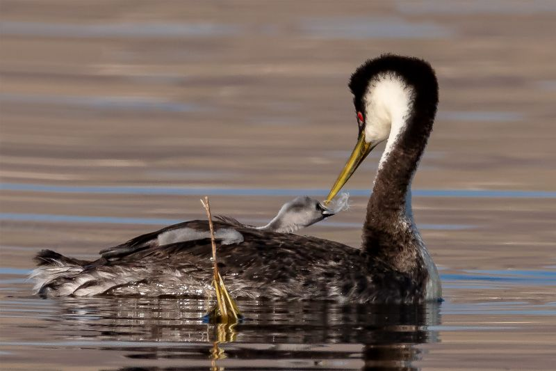 Grebe Chick Stretches For Feather, Fenwick  Jerry , Usa