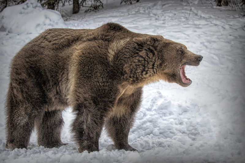 AWOKEN TOO EARLY GRUMPY GRIZZLY, Webster  Jennifer Margaret , England