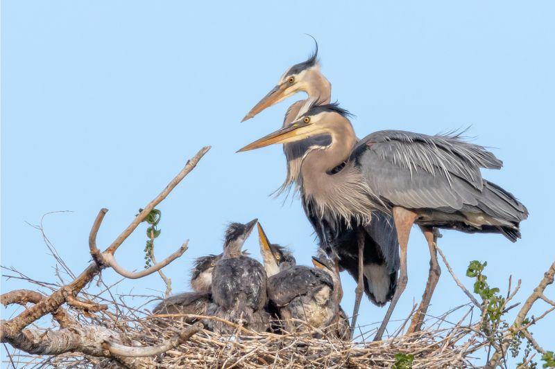 Heron Family Group, Fenwick  Jerry , Usa