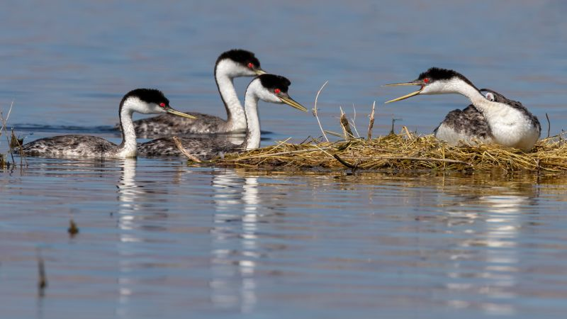 Grebe Defends Chick And Nest, Fenwick  Jerry , Usa