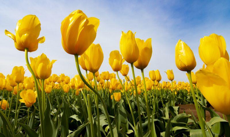 Tulips Worshiping The Sun, Funderburg  Don , Usa