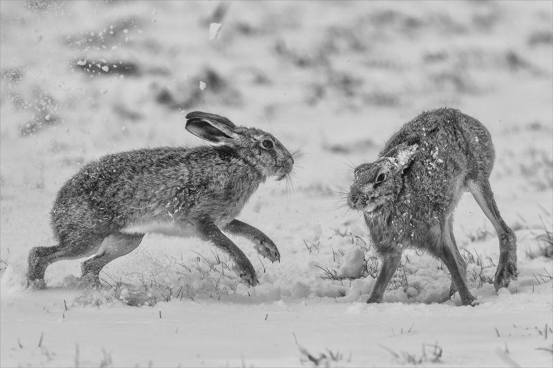 Hare Dispute 2, Webster  Jennifer Margaret , England