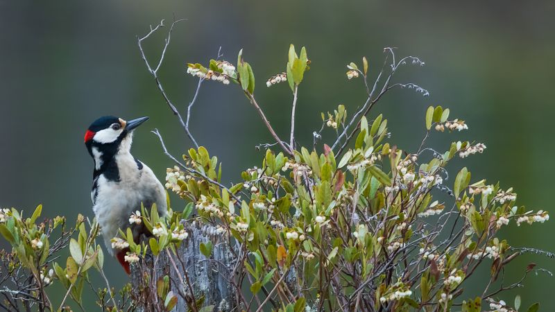 Woodpecker, Korpela  Antti , Finland