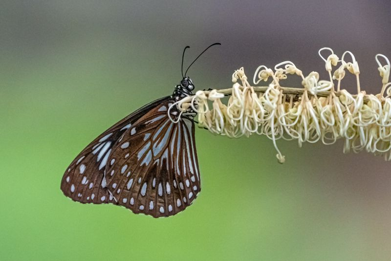 Blue Tiger Butterfly, Moritz  Vicki , Australia