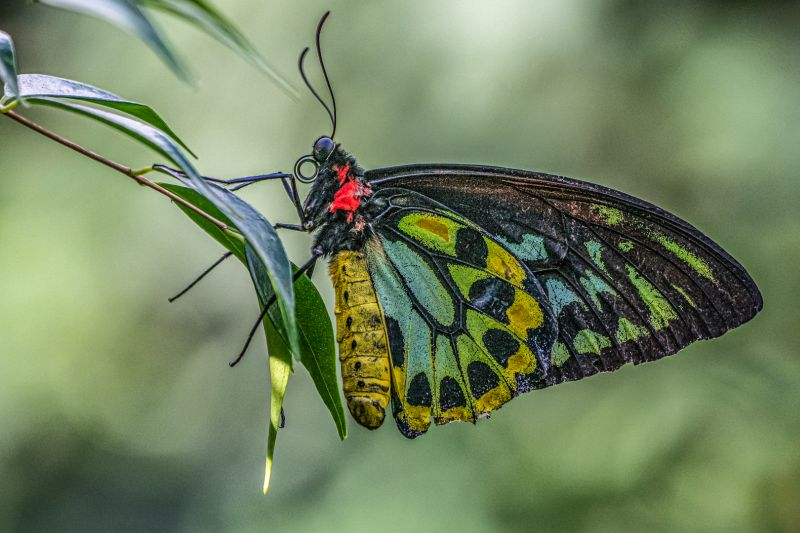 Cairns Birdwing Butterfly, Moritz  Vicki , Australia