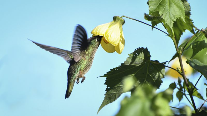 Hummingbird Feeding, Gomez Dodman  Loreto , Chile