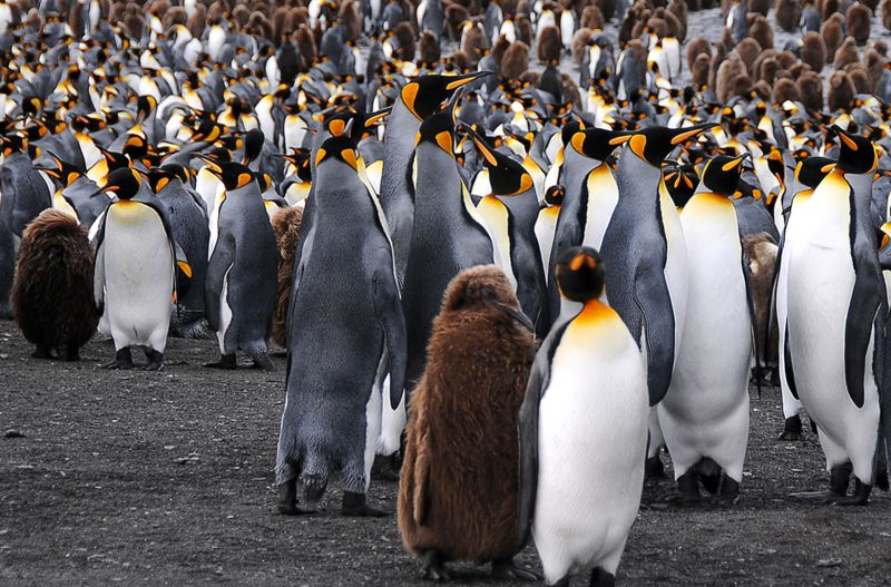 Antarktis Koenigspinguine 1, Jenzer  Urs , Switzerland
