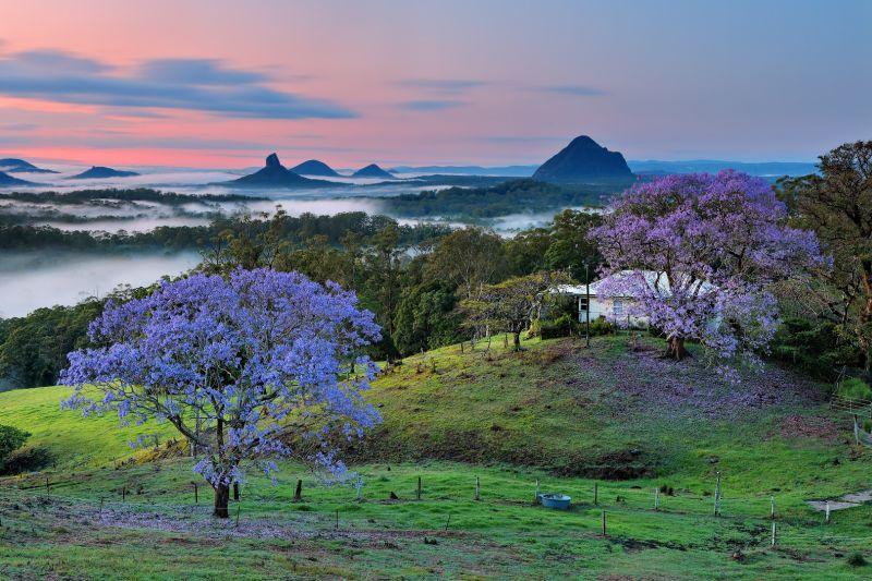 Maleny Jacaranda Dawn, Cannon  Wally , Australia