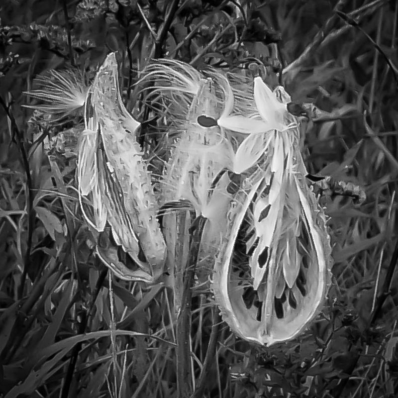 Late Season Milkweed, Hokanson  Karl , Usa