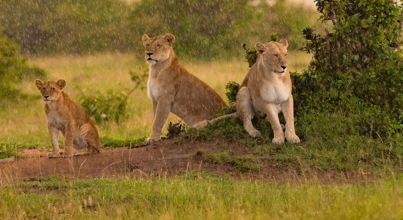 Lions In Rain, Sinha  Barun , India