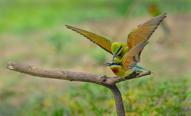 Mating Time, Sinha  Barun , India