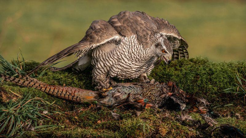 Goshawk With Kill, Gilbert  Tim , England