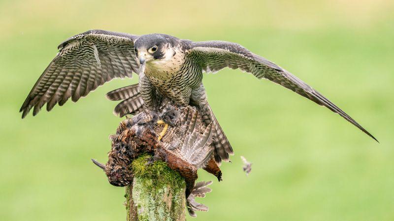 Peregrine Falcon Mantling, Gilbert  Tim , England