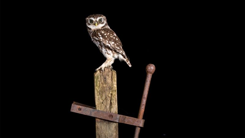 The Stare Of The Little Owl, Gilbert  Tim , England