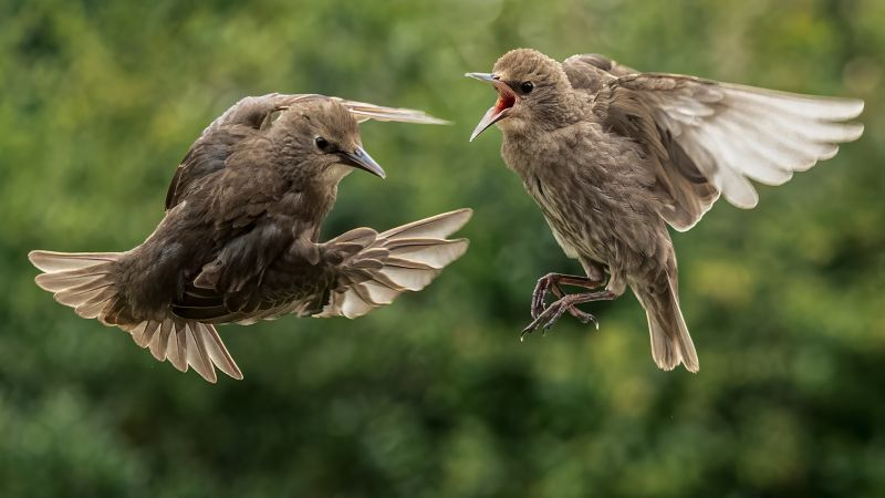Starling Chick Dispute, Gilbert  Tim , England