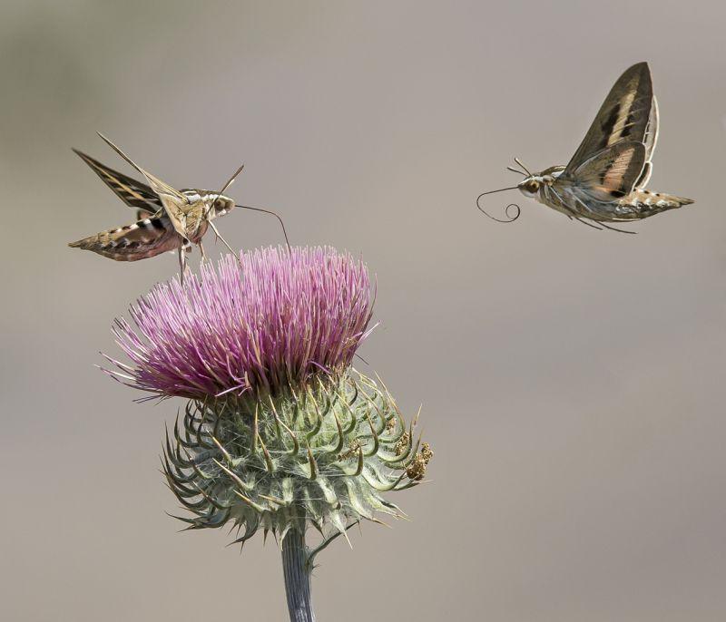 Sphinx Moth 3278, Carder  Nan , Usa