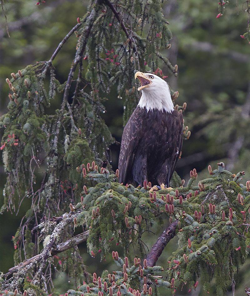 Bald Eagle 4952, Carder  Nan , Usa