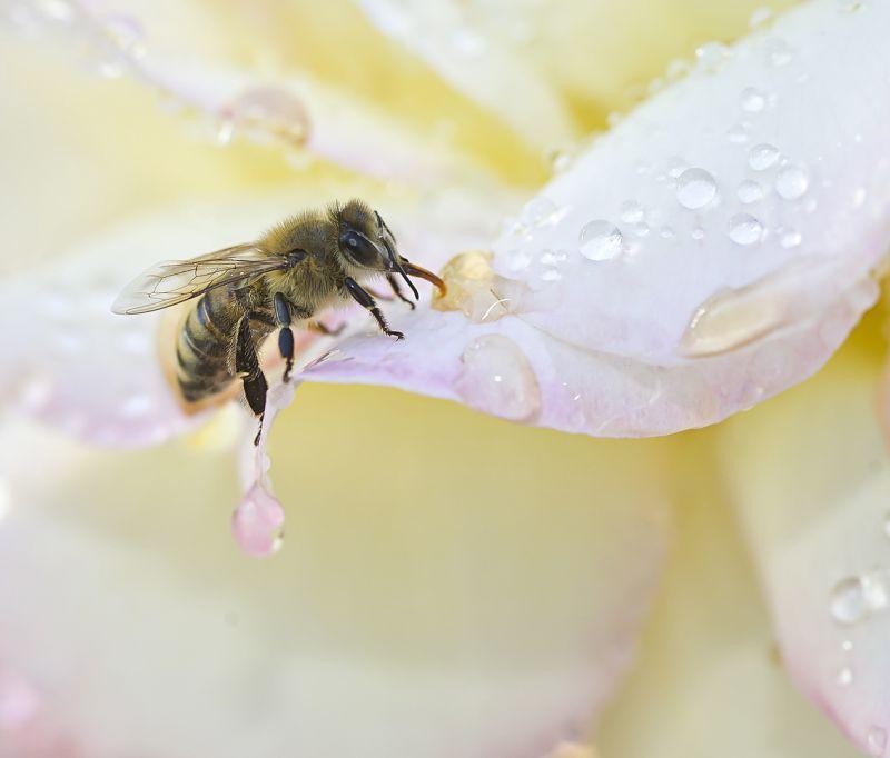 Bee On Rose Petal, Carder  Nan , Usa