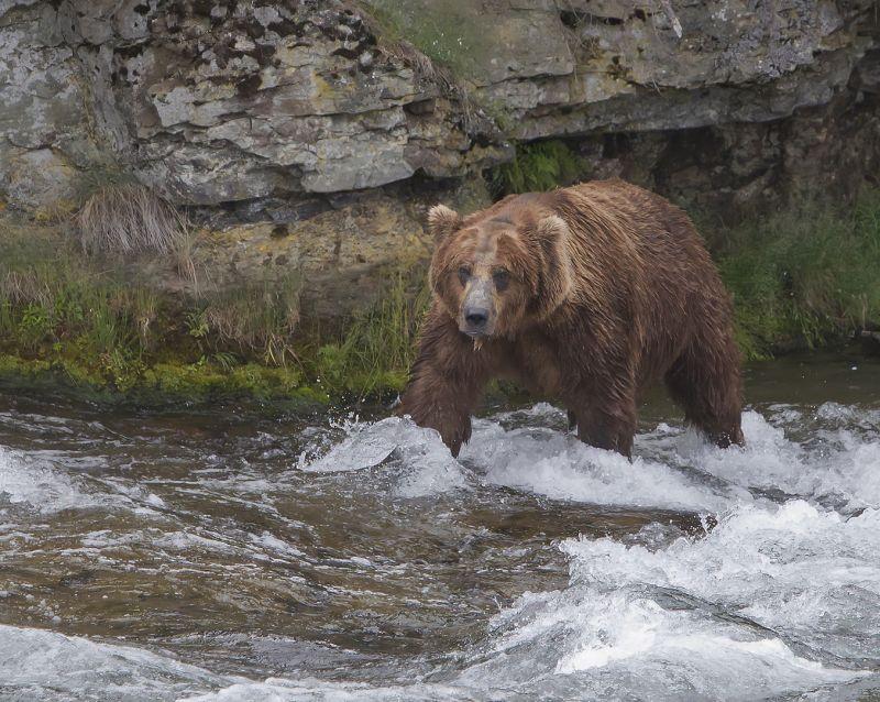 Brown Bear 5617, Carder  Nan , Usa