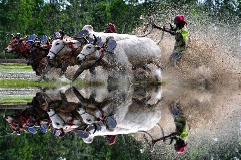 Cow Race Reflection 1, Maity  Basudev , India