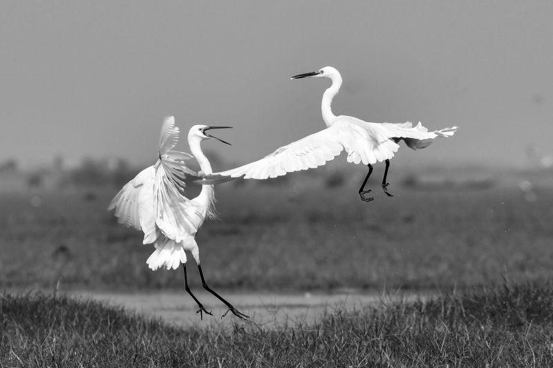 Egret Fight 5, Maity  Basudev , India