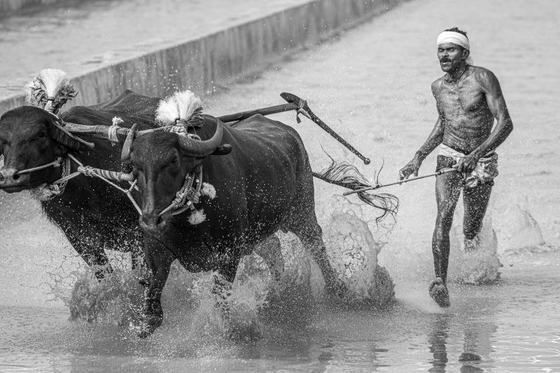 Lost The Hold Over Buffaloes, Bs  Venkatesh , India