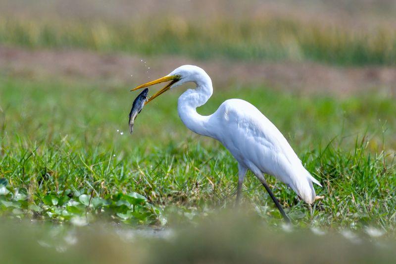 Egret Kill 4, Maity  Basudev , India