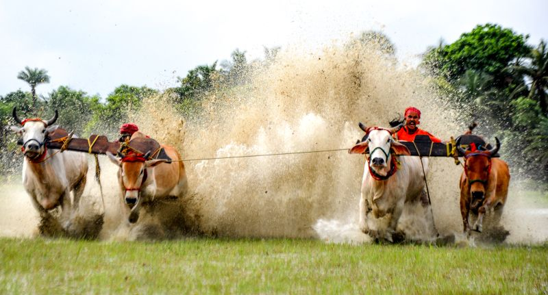 Cow Race In Water, Maity  Basudev , India