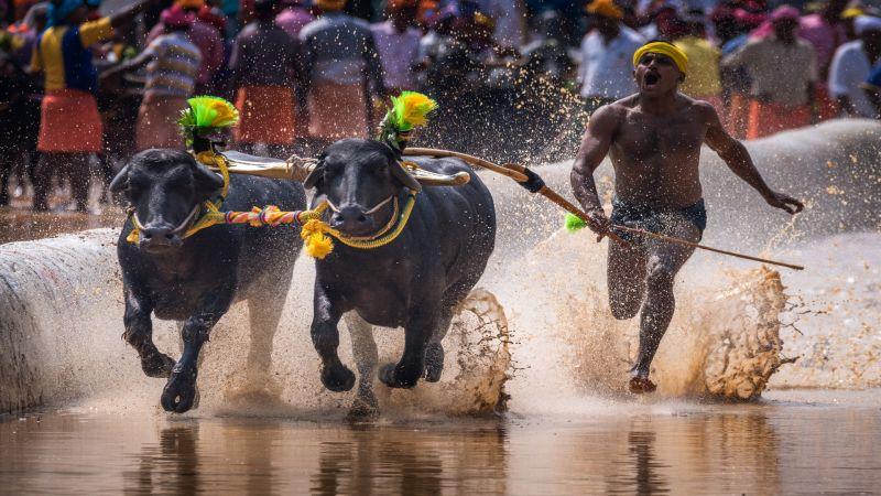 Kambala Rural Sport-2, K.m  Narayanaswamy , India