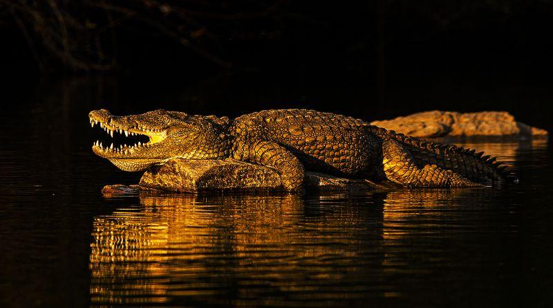 Basking Crocodile-3, K.m  Narayanaswamy , India