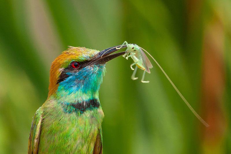 Green Beeeater With Feed-2, K.m  Narayanaswamy , India