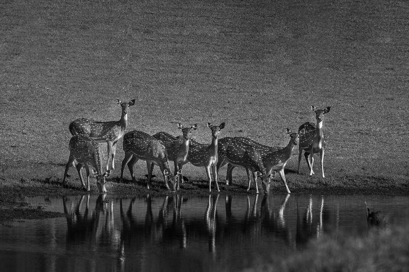 Thirsty Cheetals-3, K.m  Narayanaswamy , India