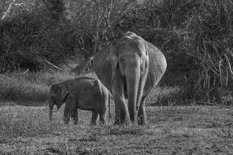 Mother And Calf-3, K.m  Narayanaswamy , India