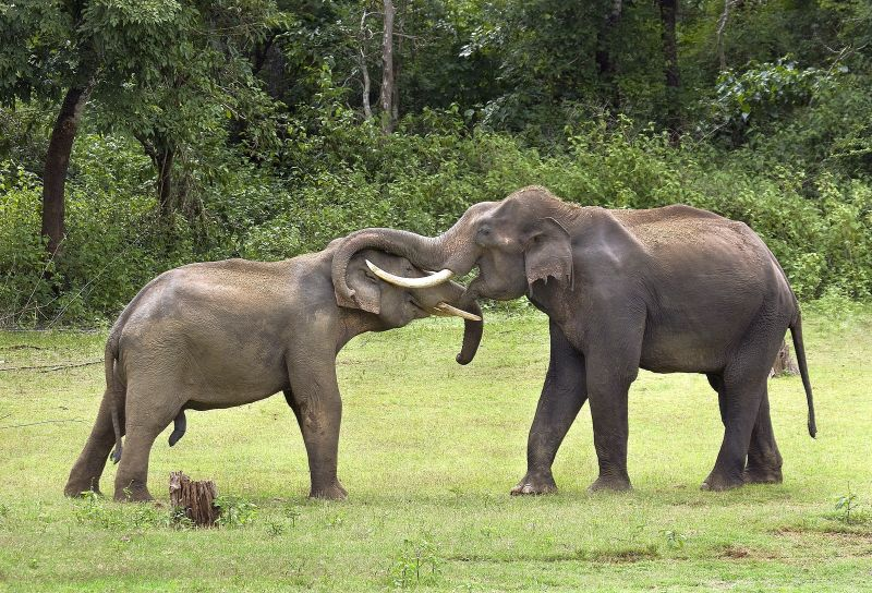 Sparring Tuskers-2, K.m  Narayanaswamy , India