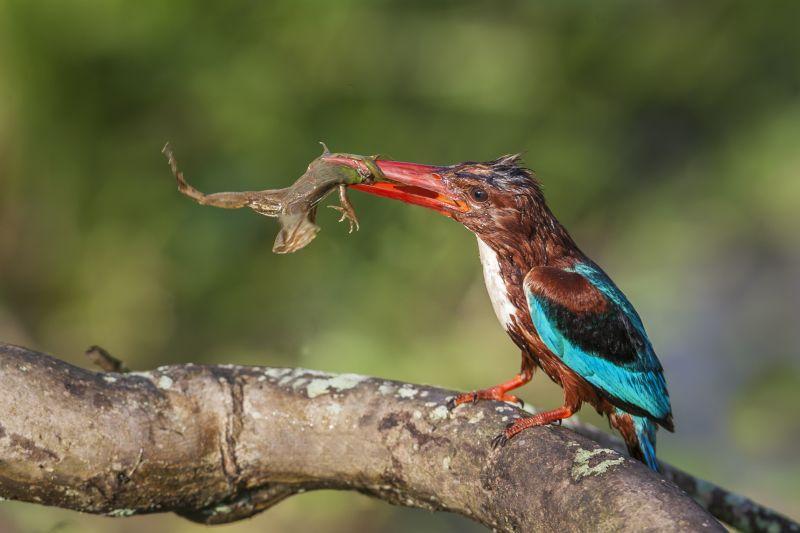 Kingfisher Feeding Frog-5, K.m  Narayanaswamy , India
