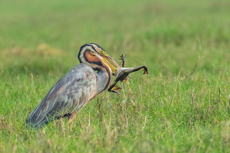 Purple Heron Feeding Frog-5, K.m  Narayanaswamy , India