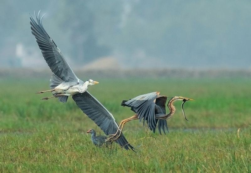 Grey Heron Chasing-3, K.m  Narayanaswamy , India