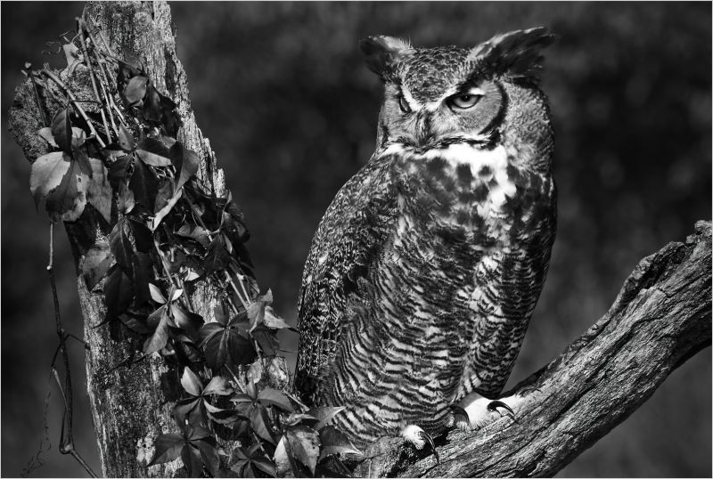 Owl And Virginia Creeper, Kramer  Irene , Usa
