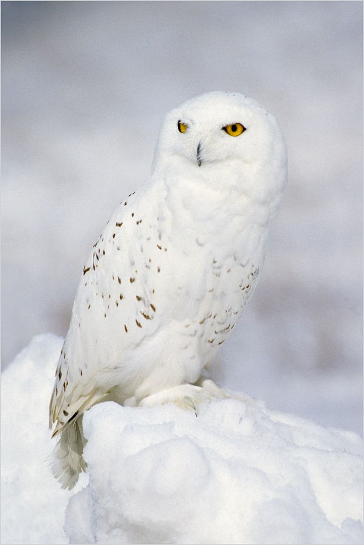 Northern Nomad - Snowy Owl, Kramer  Irene , Usa