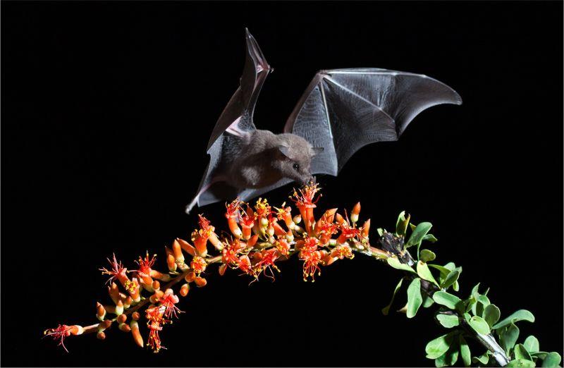 Hungry Little Brown Bat, Kramer  Irene , Usa