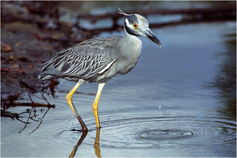 Thirsty Night Heron, Kramer  Irene , Usa