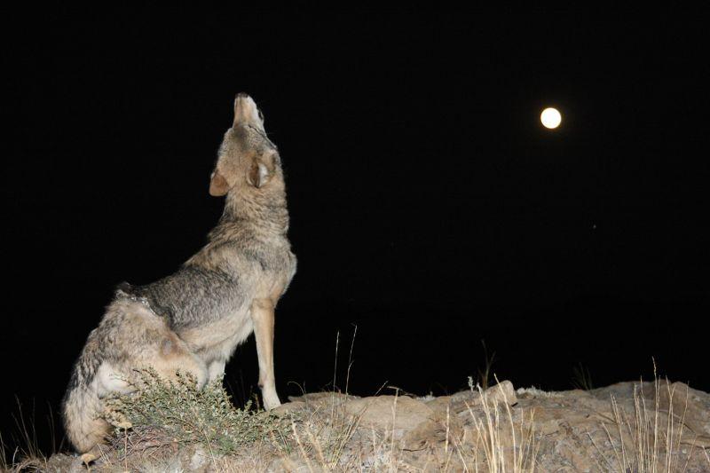 Wolf Howling At Full Moon, Johnson  Norman , Usa