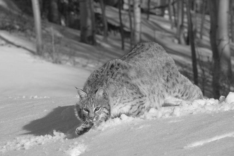 Bobcat Stalking, Johnson  Norman , Usa