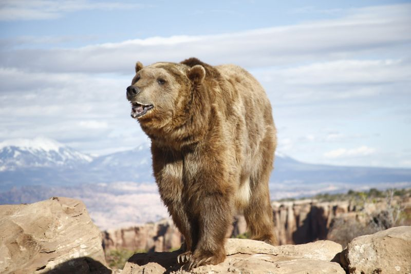Grizzly On Lookout Rock, Johnson  Norman , Usa