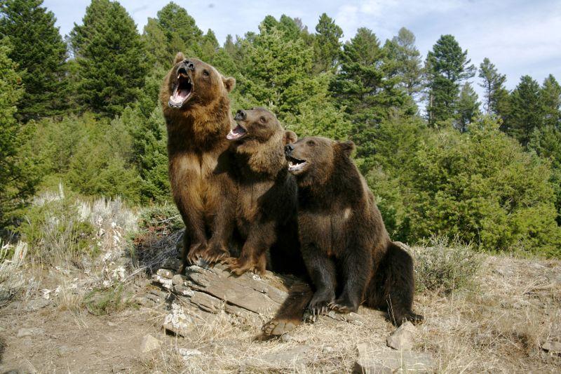 Three Grizzlys, Johnson  Norman , Usa